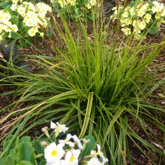 Carex Oshimensis Everlime-9 cm pots