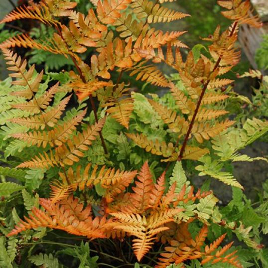Dryopteris Erythrosora-large plug plants