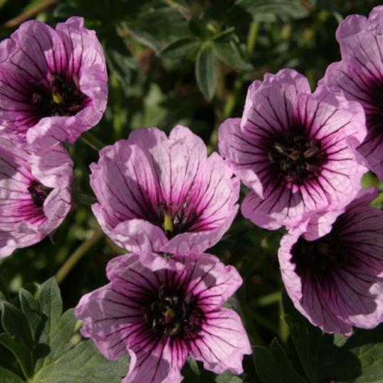Geranium Cinereum Thumbling Hearts-1 litre pots