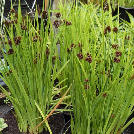 Juncus Ensifolius-7 cm pots