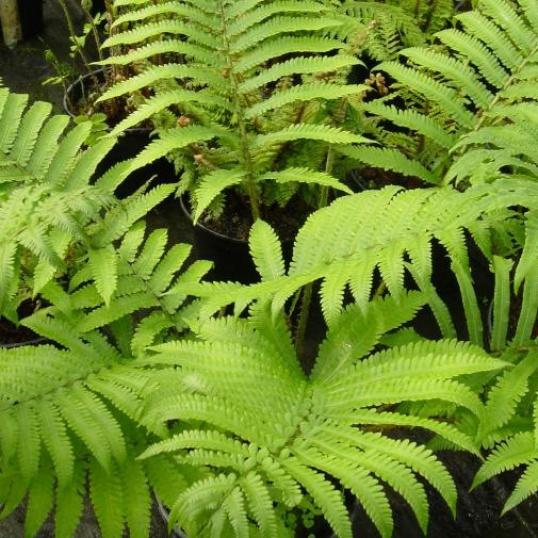 Matteucia Orientalis-9 cm pots