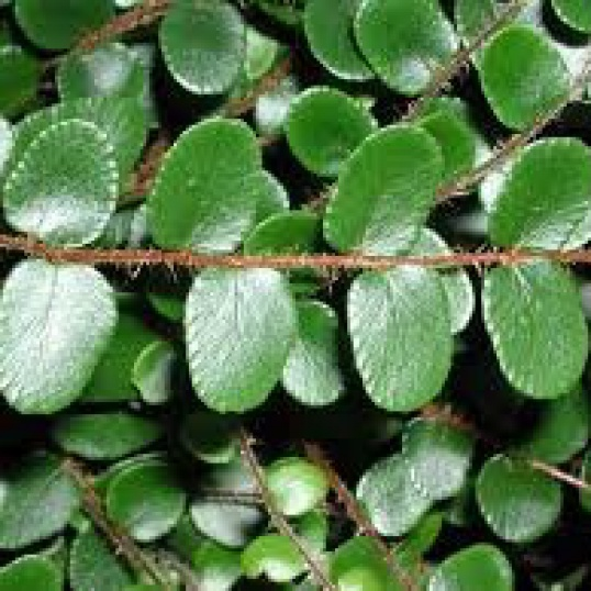 Pellaea Rotundifolia-9 cm pots