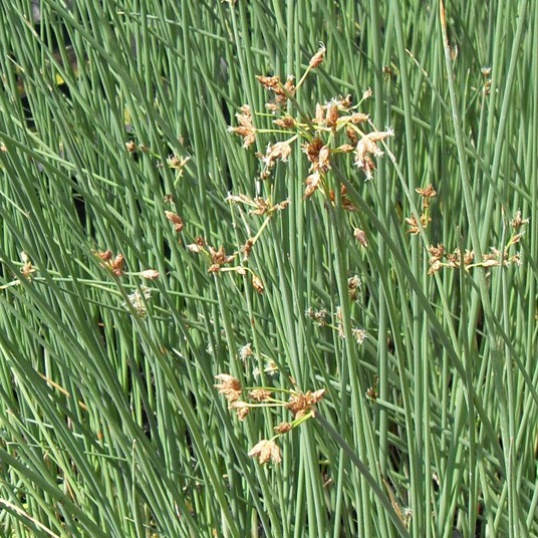 Scirpus Lacustris-1 litre pot