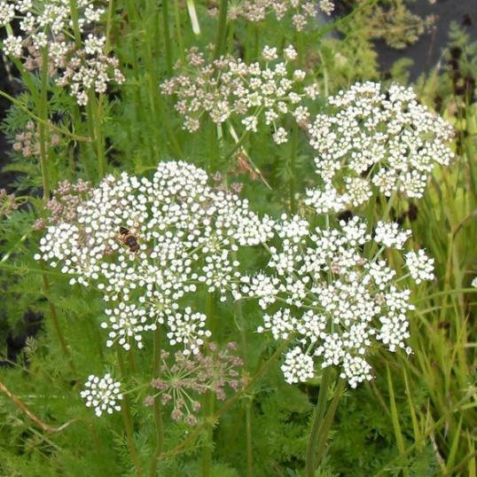 Selinum Carvifolia-plug plants