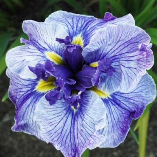 Iris Ensata Blue Spritz-1 litre pots