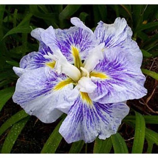 Iris Ensata Ike-No-Sazanami-1 litre pots