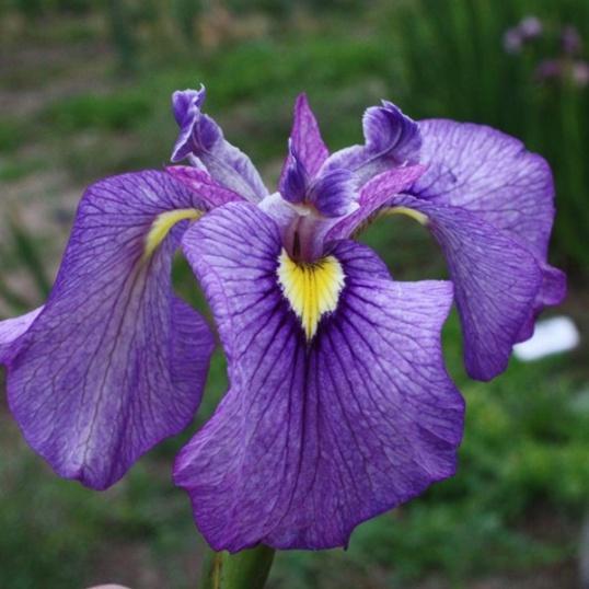 Iris Pseudata Shiryukyo-barerooted