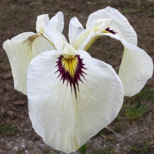 Iris Pseudata Yukiyanagi-barerooted
