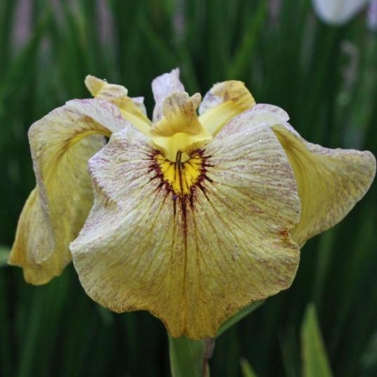 Iris Pseudata Sunadokei-barerooted