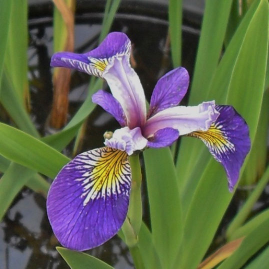 Iris Pseudacorus Holden's Child-barerooted