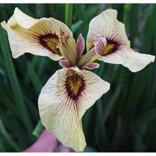 Iris Pseudata Roryu-barerooted
