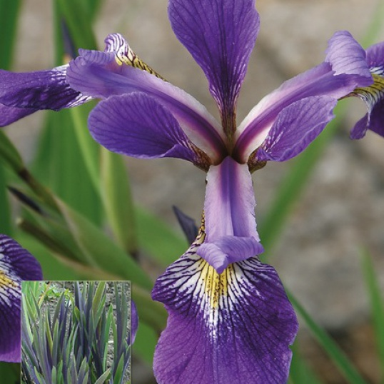 Iris Versicolor Dark Aura-barerooted
