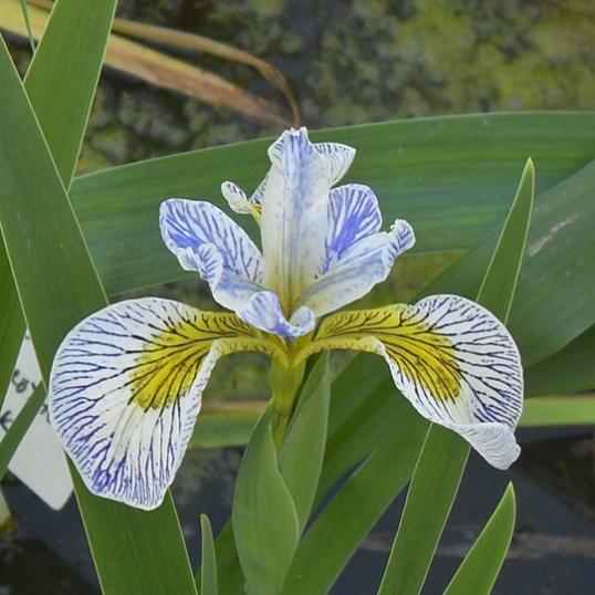 Iris Versicolor x Pseudacorus Roys Lines-barerooted