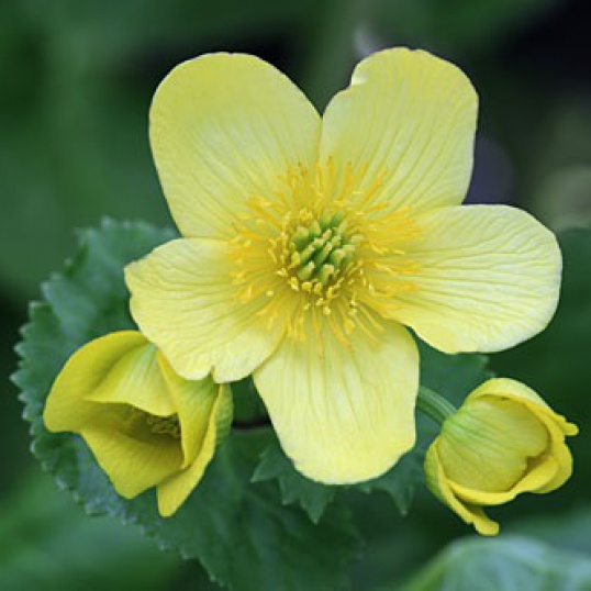 Caltha Palustris Var Palustris Honeydew-RARE PLANT-barerooted
