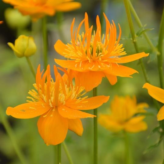 Trollius Golden Queen-large plug plants