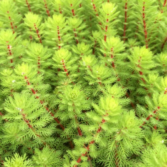 Myriophyllum Red Stemmed Parrots Feather- bunched-( not Proserpinacoides)
