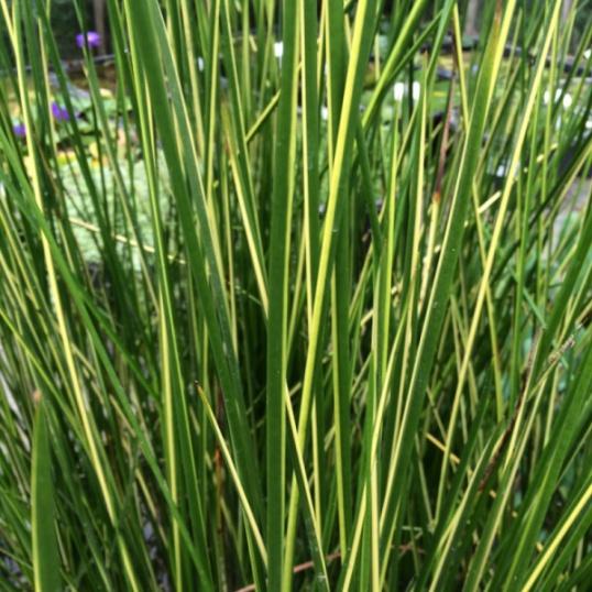 Baumea Rubiginosa Variegata-barerooted