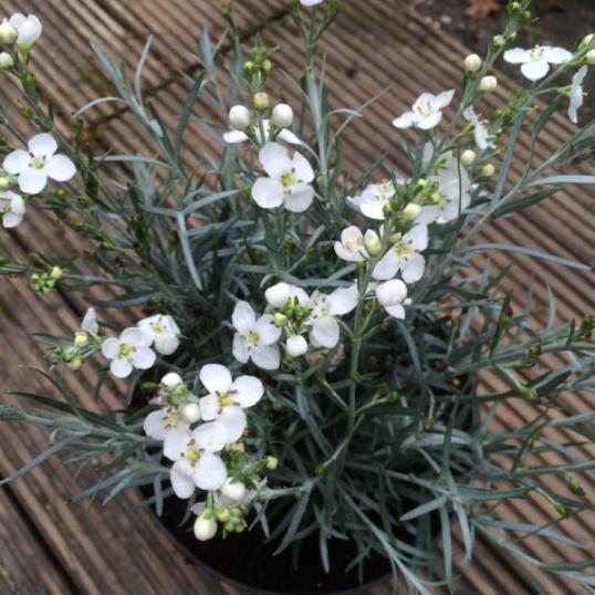 Gomphostigma Virgatum (silver leafed marginal shrub)-9 cm pots