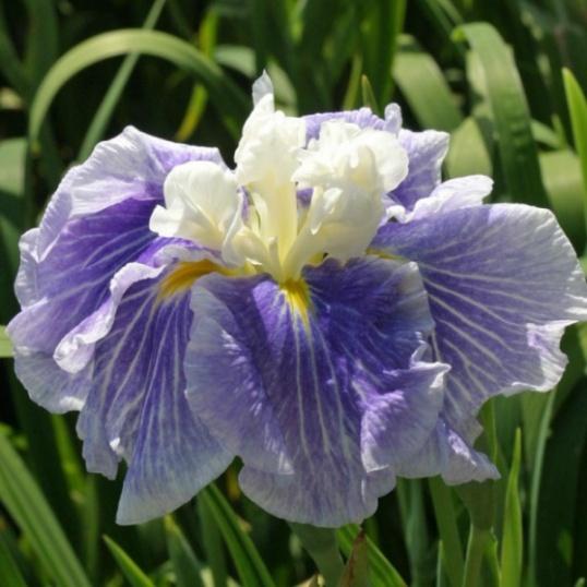 Iris Ensata Sugar Dome-1 liter pots
