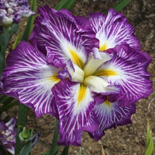 Iris Ensata Sunrise Ridge-1 litre pots