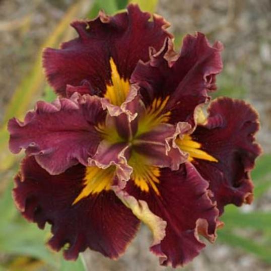 Iris Louisiana Hail Mary-barerooted