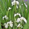 Iris Pseudacorus creme de la creme-barerooted