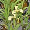 Iris Pseudacorus Bastardii-barerooted