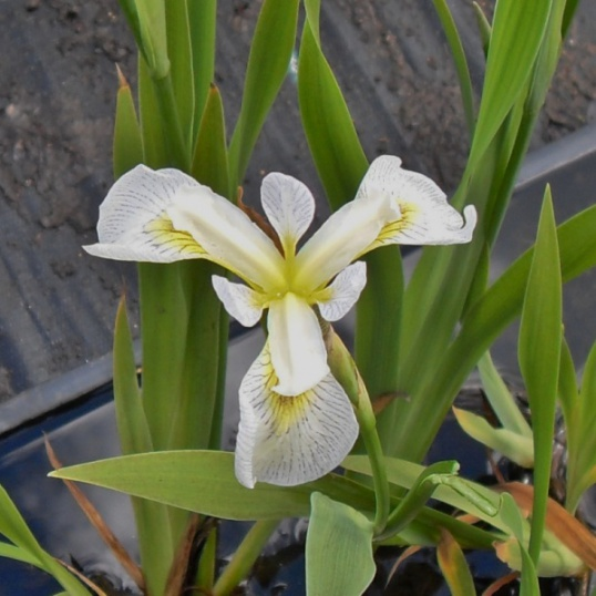 Iris Versicolor x Pseudacorus Roys Repeater-barerooted
