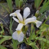 Iris Versicolor Between The Lines-barerooted