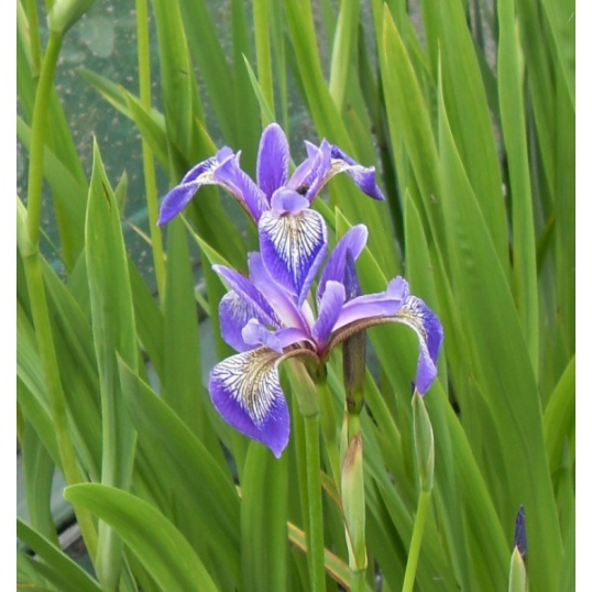 Iris Versicolor China West Lake-barerooted