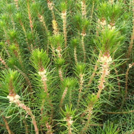 Myriophyllum Propium-bunched
