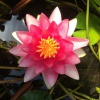 Nymphaea Attraction-barerooted