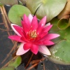Nymphaea Chateau Le Rouge-barerooted
