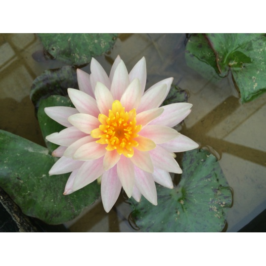 Nymphaea Citrus Twist- EXCLUSIVE-BAREROOTED