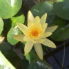 Nymphaea Mexicana-barerooted