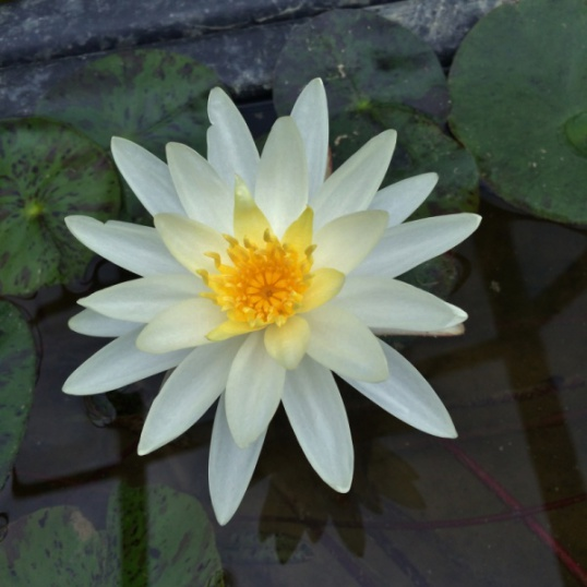 Nymphaea Moondance-EXCLUSIVE-barerooted