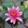 Nymphaea Red Queen-RARE-barerooted