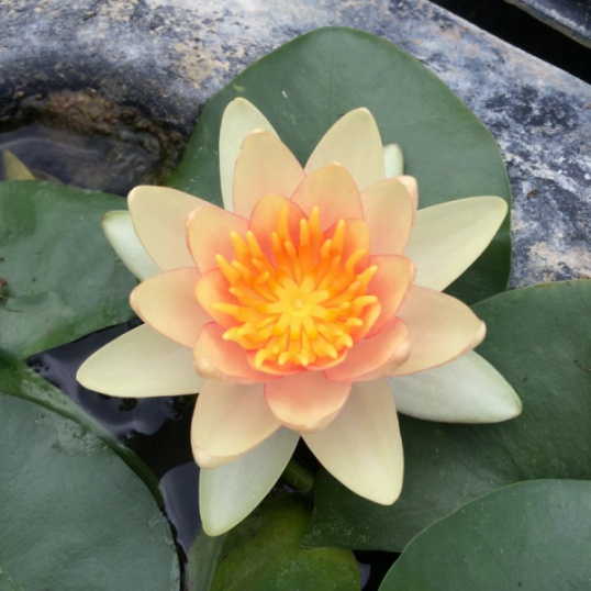 Nymphaea Solfatare-barerooted