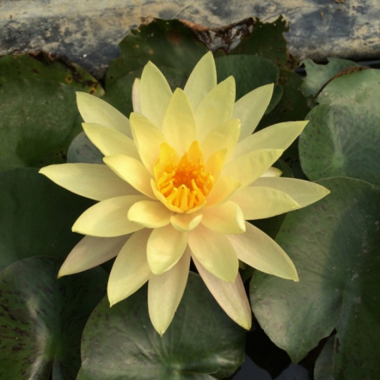 Nymphaea Texas Dawn-barerooted