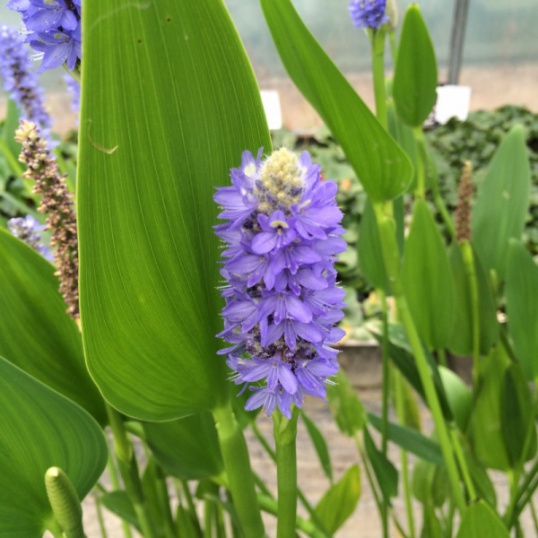 Pontederia Lanceolata-barerooted