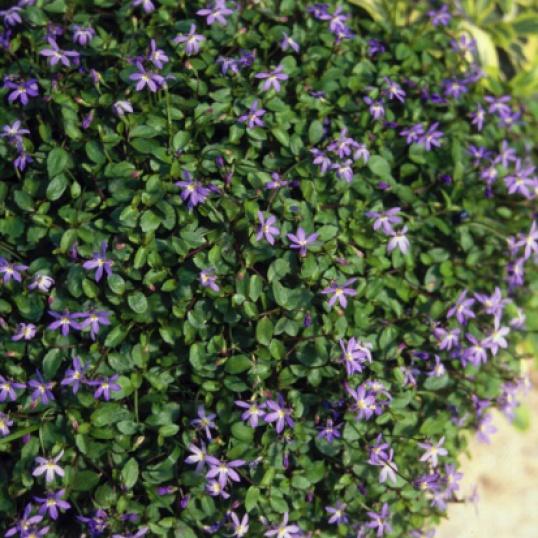 Isotama Fairy Carpet-plug plants