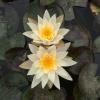 Nymphaea Hazorea Dagan White-barerooted