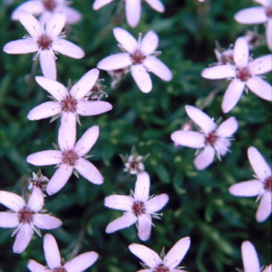 Arenaria Purpurascens-plug plants