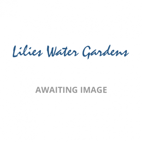 Astilbe Happy Spirit-barerooted