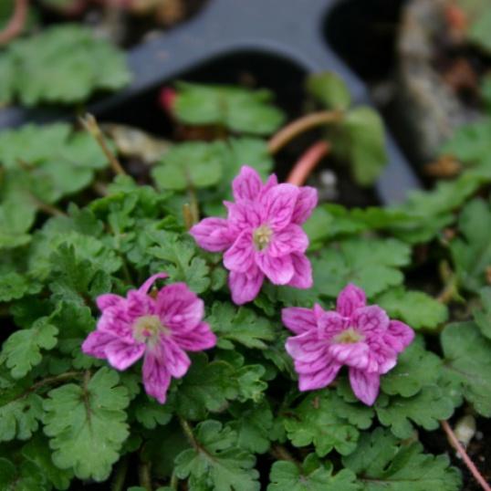 Erodium x Variable Flore Plena-plug plants