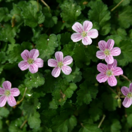 Erodium x Variable Roseum-plug plants