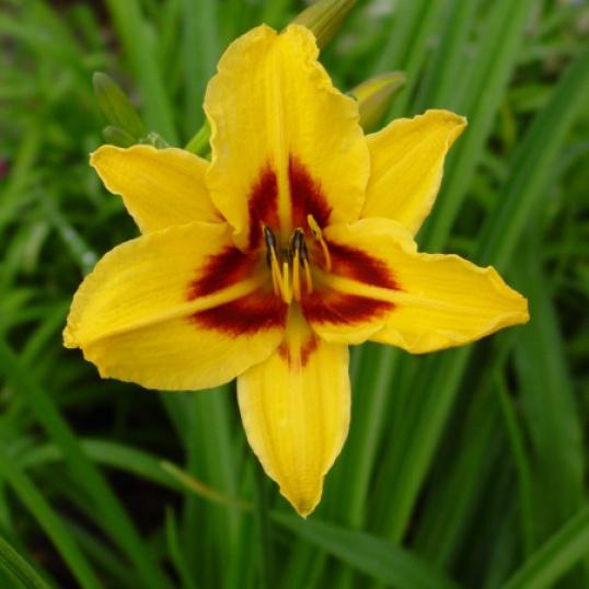 Hemerocallis Bonanza-9 cm pots
