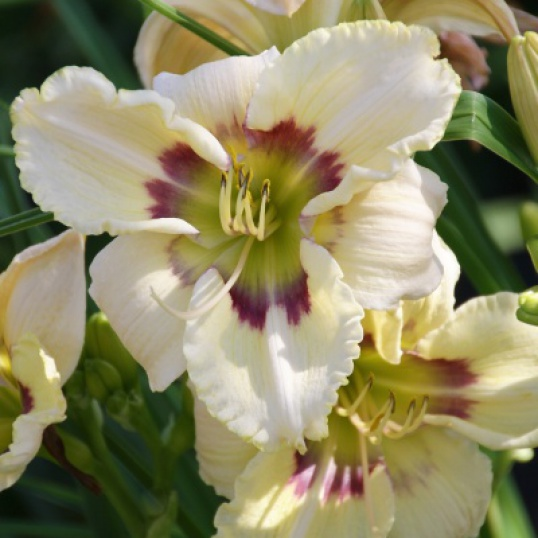 Hemerocallis Dragon Flight-barerooted