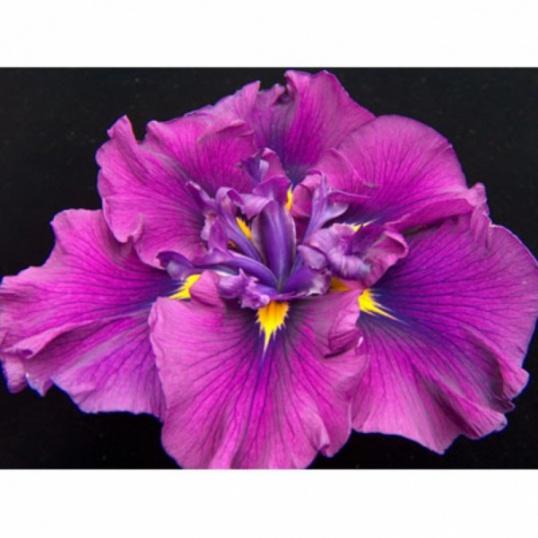 Iris Ensata Japanese Plum-1 litre pots