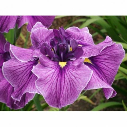 Iris Ensata Red Tessa-1 litre pots